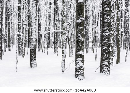 Snow covered beech forest in winter - stock photo