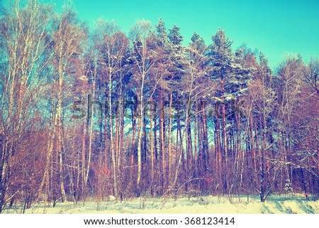 snow-covered birch and pine trees in the winter forest in sunny weather - stock photo