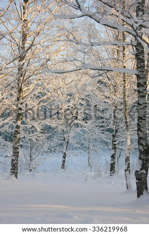 snow-covered birch tree in the sunset