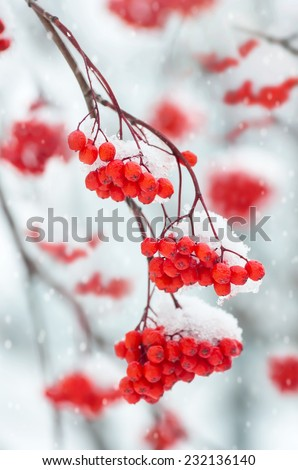 Snow-covered branch of a mountain ash - stock photo