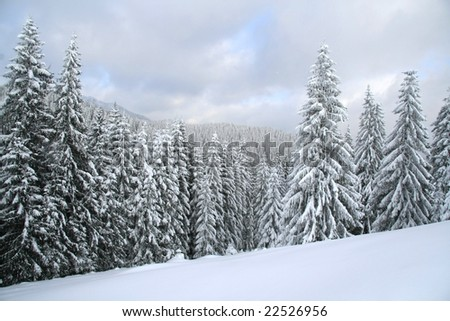 Snow covered Christmas forest. Snow covered spruce trees and clouds - stock photo