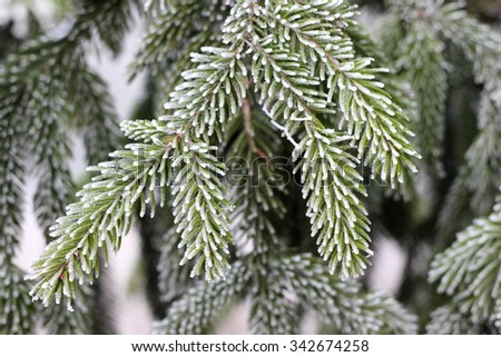 Snow covered Evergreen branch at sunset with frost during winter at sunset - stock photo