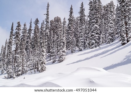 Snow-covered evergreens on a hill in Yellowstone National Park