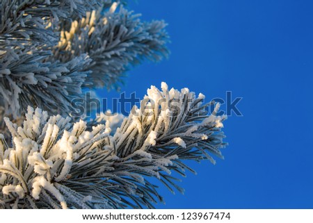 Snow-covered fir branches against the blue sky close up. Illuminated by bright sunshine