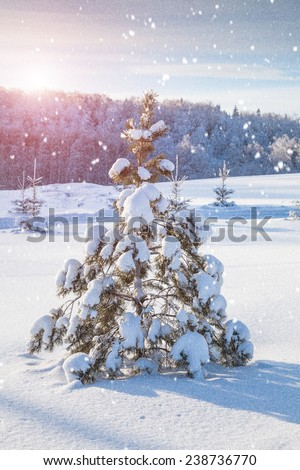 Snow-covered fir tree and sundown  - stock photo