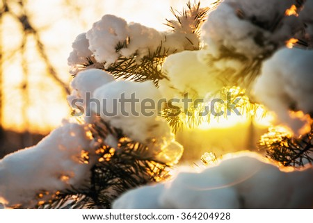 snow-covered fir tree in winter forest at sunset. Shallow depth of field. Soft focus - stock photo