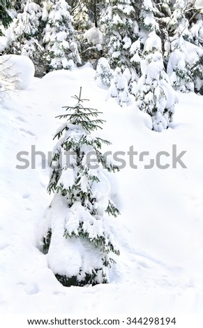 Snow-covered fir-tree on glade in winter fir forest  - stock photo