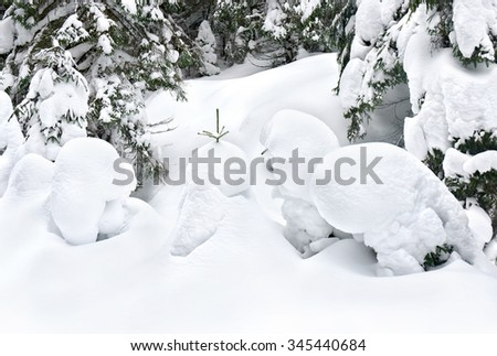 Snow-covered fir-trees on glade in winter fir forest - stock photo