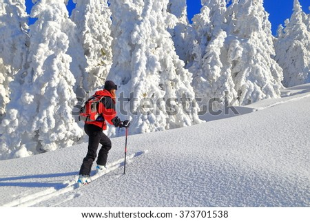 Snow covered landscape and woman climbing near white pine trees on touring skis  - stock photo