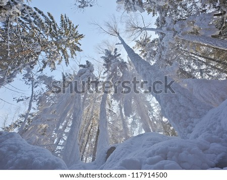 Snow covered large trees