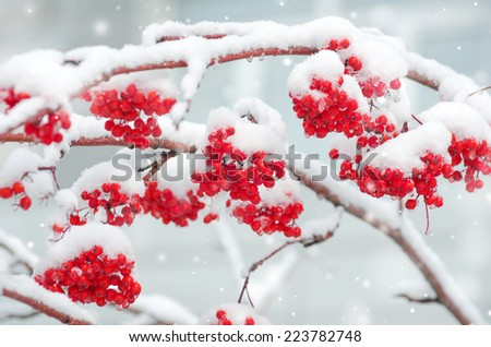 Snow-covered mountain ash - stock photo