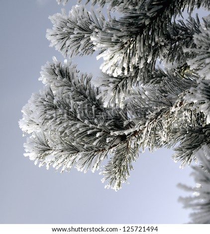 Snow covered pine branch. Frosty winter day
