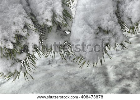 Snow covered pine branch. Snowy spring day