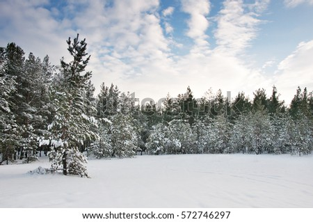 Snow-covered pine forest, and footprints in the snow