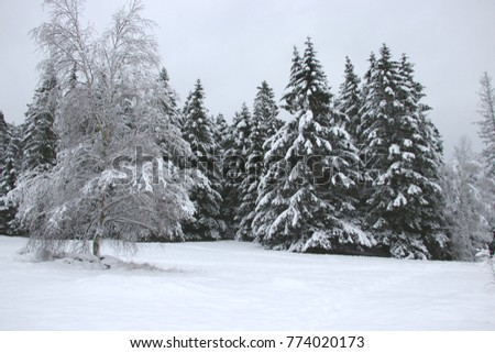 snow-covered pine forest in southern Sweden