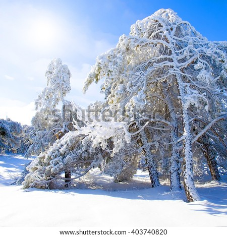 Snow-covered pine trees, blue sky and sun. - stock photo