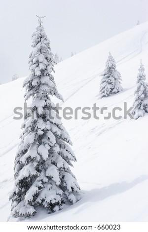 snow covered pine trees on mountain. - stock photo