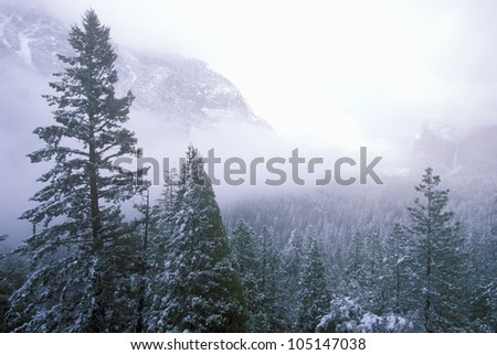 Snow Covered Pine Trees, Yosemite National Park, California - stock photo