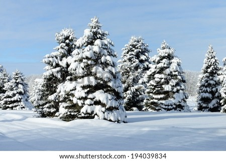 Snow covered spruce trees in the Michigan Winter countryside. - stock photo