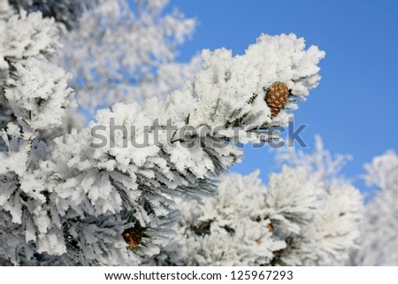 Snow-covered tree branch  on blue sky background.