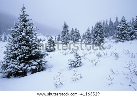 Snow covered trees in the Canadian Rockies. Banff National Park. Alberta Canada