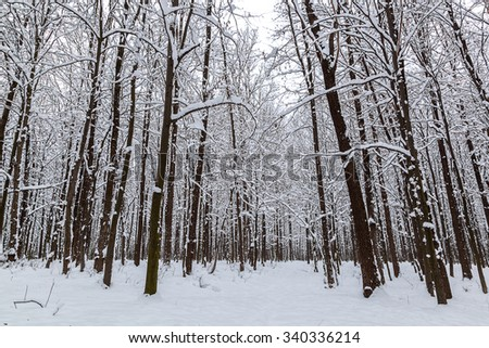Snow covered trees in the winter forest. - stock photo