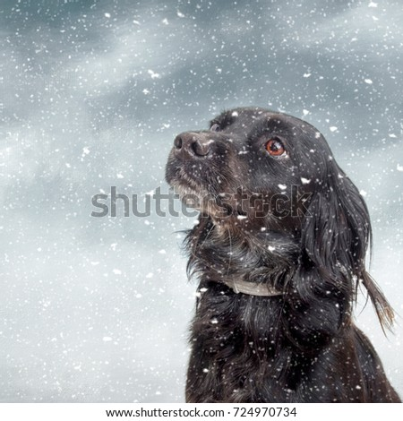 Snow dog.Black pet dog with snow.