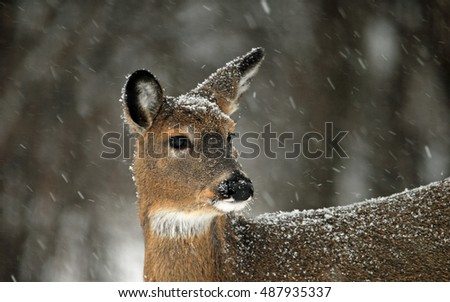 Snow falling on white tail deer, odocoileus virginianus
