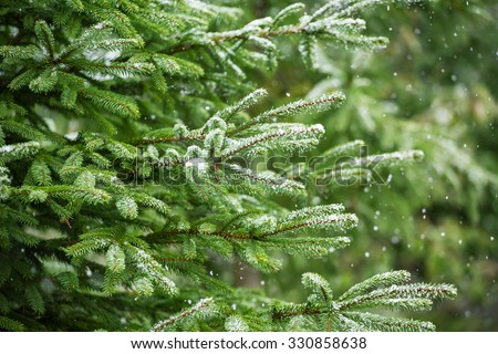 Snow fir tree branches under snowfall. Winter detail - stock photo