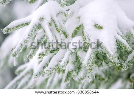 Snow fir tree branches under snowfall. Winter detail - stock photo