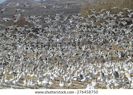 Snow geese and Sandhill cranes take flight over a frozen field at the Bosque del Apache National Wildlife Refuge, near San Antonio and Socorro, New Mexico  - stock photo