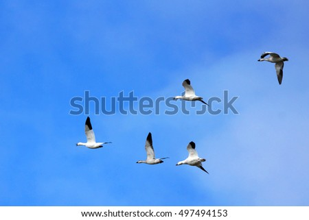 Snow geese, Chen caerulescens, with gosling in flight over blue sky