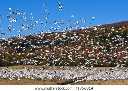 Snow geese flock taking off - stock photo