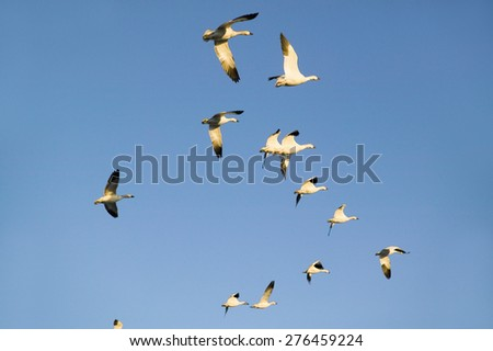 Snow geese fly against blue sky over the Bosque del Apache National Wildlife Refuge, near San Antonio and Socorro, New Mexico  - stock photo