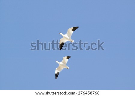 Snow geese fly in formation over the Bosque del Apache National Wildlife Refuge, near San Antonio and Socorro, New Mexico  - stock photo