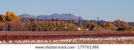 Snow Geese fly over Bosque del Apache National Wildlife Refuge late on an autumn afternoon - stock photo