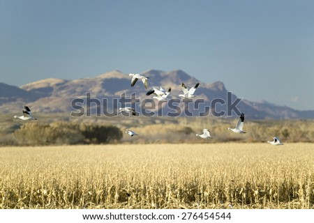 Snow geese fly over cornfield over the Bosque del Apache National Wildlife Refuge at sunrise, near San Antonio and Socorro, New Mexico  - stock photo