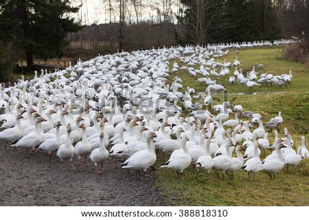 snow geese in BC Canada - stock photo