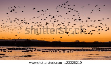 Snow geese in early morning at Bosque del Apache National Wildlife Refuge near San Antonio, New Mexico - stock photo