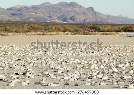 Snow geese on frozen field at the Bosque del Apache National Wildlife Refuge, near San Antonio and Socorro, New Mexico  - stock photo