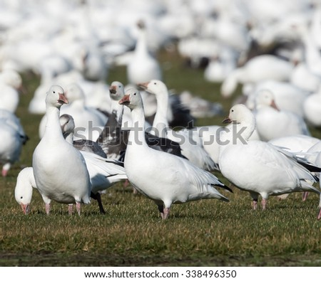 Snow Geese Resting and Eating Grass during Migration South in Fall - stock photo