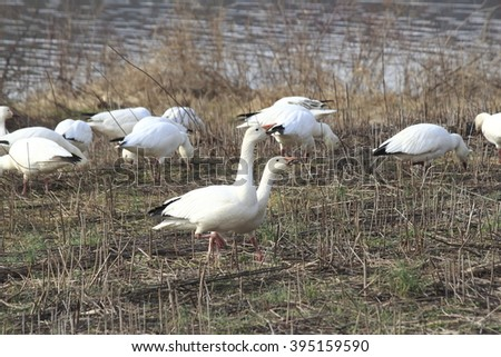 Snow geese roaming - stock photo