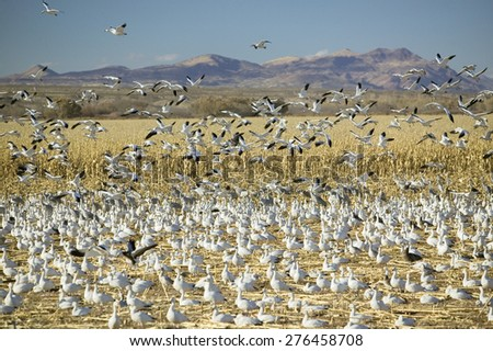 Snow geese take off from cornfield over the Bosque del Apache National Wildlife Refuge at sunrise, near San Antonio and Socorro, New Mexico  - stock photo