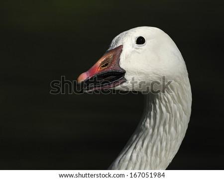 snow goose [Anser caerulescens] - stock photo