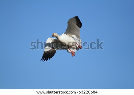 Snow goose (Chen caerulescens) flying with a clear blue sky background - stock photo