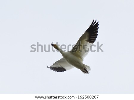 Snow Goose (chen caerulescens) in flight