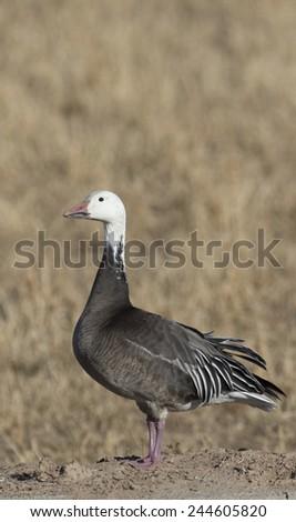 "Snow goose, Dark phase or ""BLUE Goose"" at Bosque del Apache National Wildlife Refuge, San Antonio, New Mexico - stock photo"