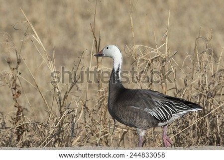 "Snow goose, Dark phase or ""BLUE Goose"" at Bosque del Apache National Wildlife Refuge, San Antonio, New Mexico - stock photo"