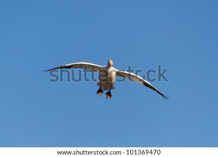 Snow Goose, migratory bird with blue sky - stock photo