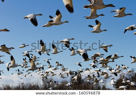 Snow Goose, migratory bird with blue sky - stock photo